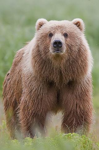 319px-2010-brown-bear